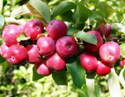 Яблоня сорт Жар-Птица (полукультурка)